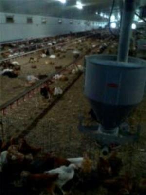 Găini de ouă Isa Brown - imagine 3