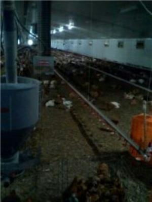 Găini de ouă Isa Brown - imagine 4