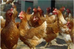 Găini de ouă Isa Brown - imagine 1