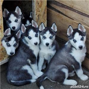 Husky Siberian pentru MONTA!!! - imagine 3