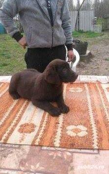 Pui labrador retriever-labrador retriver ciocolatiu - imagine 3