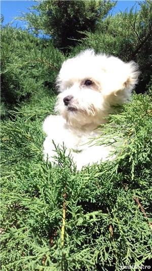 catei Bichon Maltese alb mini  - imagine 5