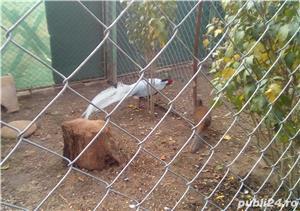Cumpar fazani  - imagine 3