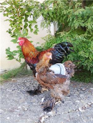 Găini brahma potarnichiu  - imagine 2