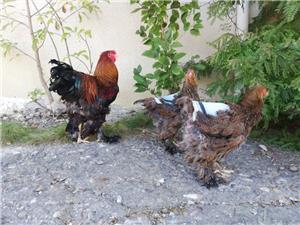 Găini brahma potarnichiu  - imagine 5