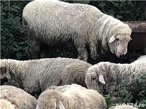 Vând oi si capre( 5 milioane bucata) - imagine 1