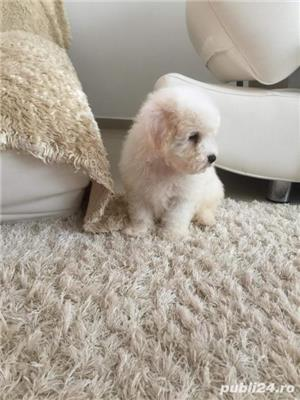 Pui bichon frise - imagine 1