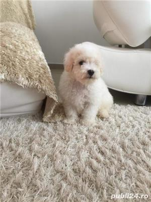Pui bichon frise - imagine 2