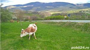 Vaca cu lapte gestanta de vanzare Domasnea Caras Severin - imagine 1