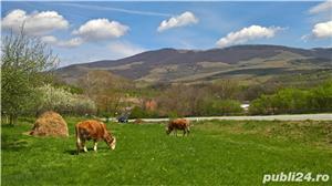 Vaca cu lapte gestanta de vanzare Domasnea Caras Severin - imagine 2