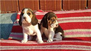 Vand catei Beagle tricolori - imagine 2