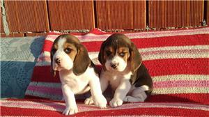 Vand catei Beagle tricolori - imagine 1