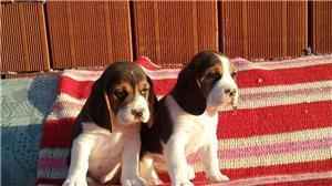 Vand catei Beagle tricolori - imagine 4