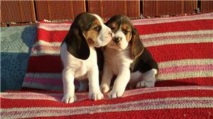 Vand catei Beagle tricolori - imagine 3