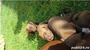 Pit Bull Terrier American - imagine 2