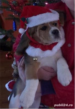 Vand catei Beagle superbi cu pedigree A - imagine 2