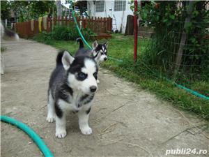 Pui superbi de Husky siberian.,  - imagine 7