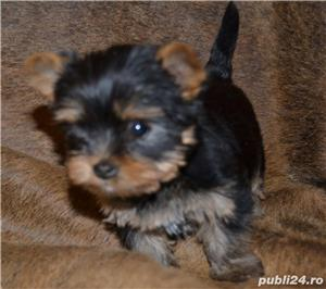 yorkshire terrier cu pedigree - imagine 3