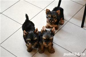 yorkshire terrier cu pedigree - imagine 5