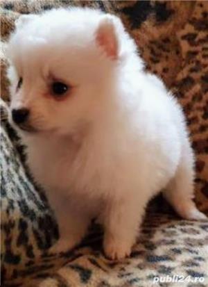 catei Spitz pitic Pomeranian Poze - imagine 5