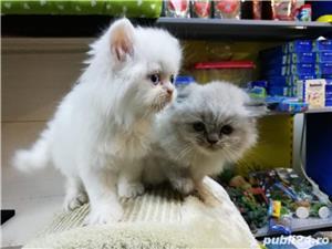 Pisici persane - imagine 4