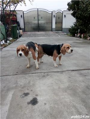 Monta Beagle cu Pedigree - imagine 1