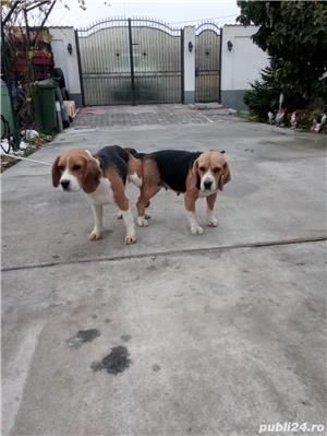 Monta Beagle cu Pedigree - imagine 2