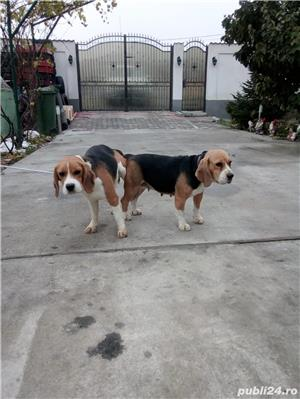 Monta Beagle cu Pedigree - imagine 3