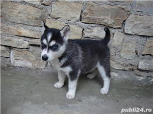 Pui Husky   - cadoul perfect pentru toata familia - imagine 4