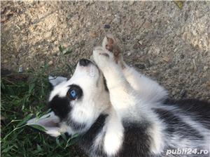 Pui Husky   - cadoul perfect pentru toata familia - imagine 8