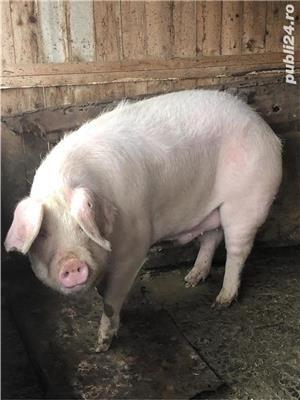 Vand porc .  - imagine 1