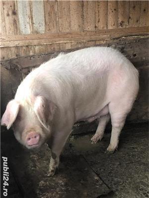 Vand porc .  - imagine 4