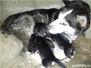 Husky. - imagine 2