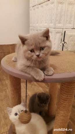 vand pui pisica british shorthair lila - imagine 2