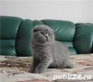 vand pui pisica scottish fold - imagine 1
