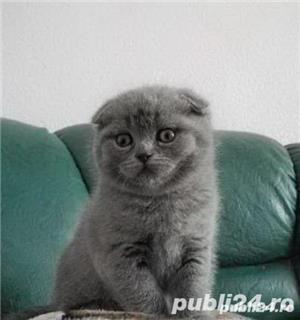 vand pui pisica scottish fold - imagine 2