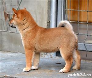 Shiba inu cu pedigree - imagine 5