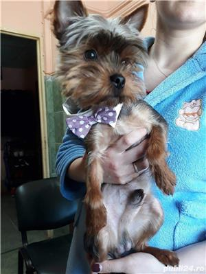 Yorkshire Terrier Monta - imagine 1