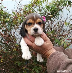 Pui Beagle - imagine 3