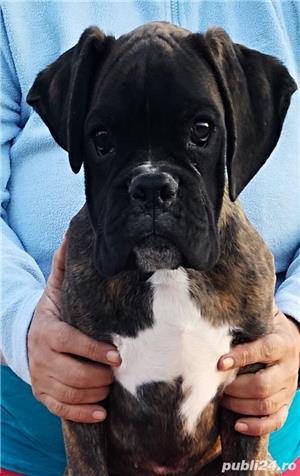 Pui boxer cu pedigree - imagine 7