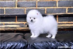 Pomeranian talie Toy, foarte pufosi, rasa pura - imagine 2