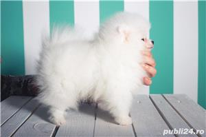 Pomeranian talie Toy, foarte pufosi, rasa pura - imagine 4