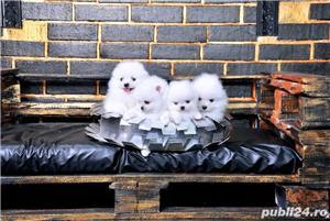 Pomeranian talie Toy, foarte pufosi, rasa pura - imagine 3
