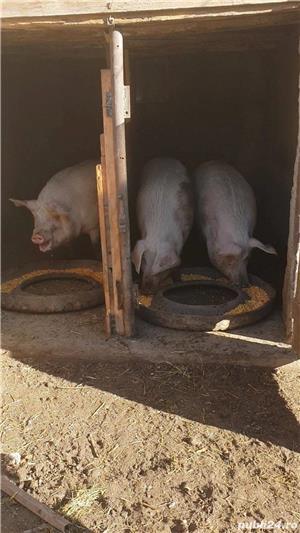 Porci de carne rasa Marele Alb 10 lei/kg - imagine 1