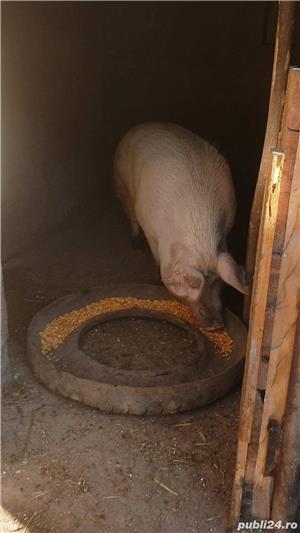Porci de carne rasa Marele Alb 10 lei/kg - imagine 3