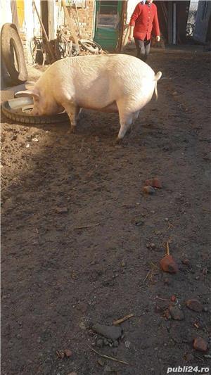 Porci de carne rasa Marele Alb 10 lei/kg - imagine 2