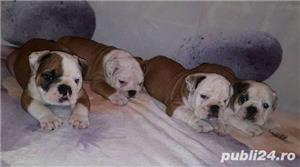 Pui de bulldog buldog  englez!! - imagine 4