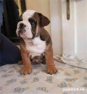 Pui de bulldog buldog  englez!! - imagine 6