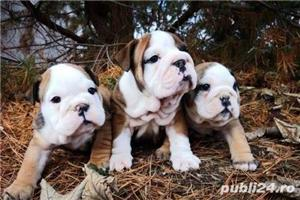 Pui de bulldog buldog  englez!! - imagine 5