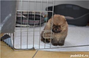 Pomeranian mini, maro, foarte pufosi - imagine 2